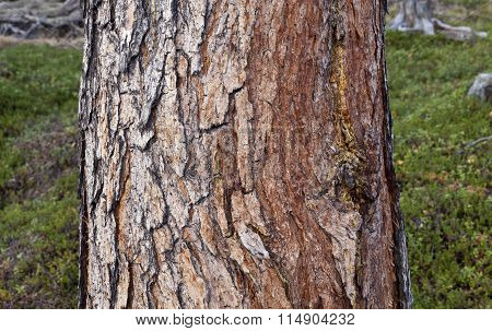 Close up on a pine tree, the trunk.