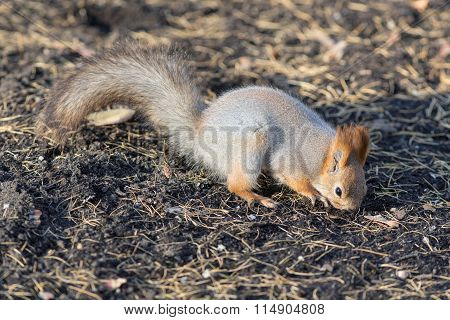 Squirrel Digs The Ground