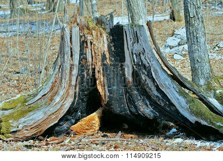 Very Old Stump