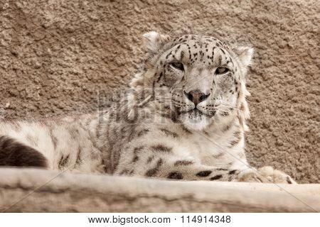 Snow Leopard ( Panthera Uncia )