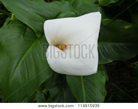White Calla Lilly In Green Leaves