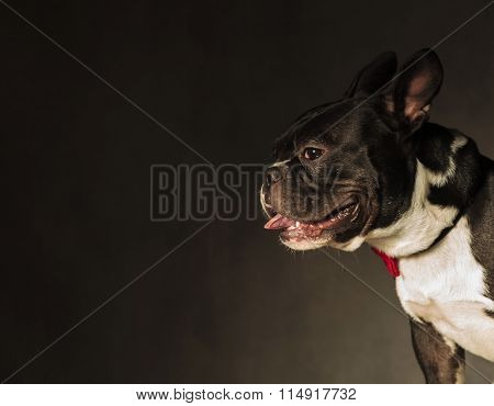 french bulldog puppy dog panting in studio wih copyspace