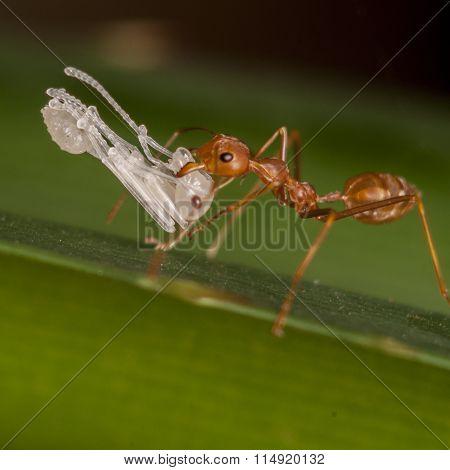 weaver ants