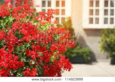 Red Flowers Decorate A Window Sill On The Street