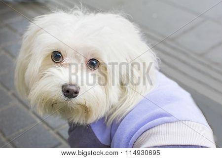 Bichon Frise  Curly Lap Dog