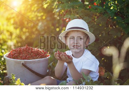 Funny Little Kid Picking Up Red Currants From Currant Bush In A Garden
