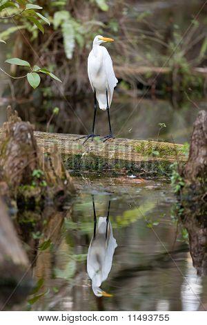 Great Egret Bird In The Everglades