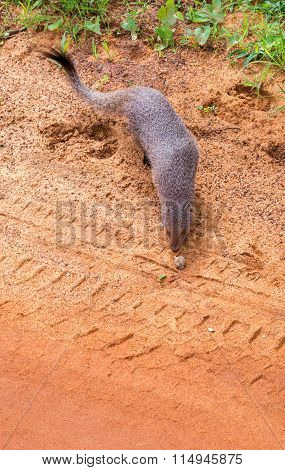 Mongoose And Tire Trail