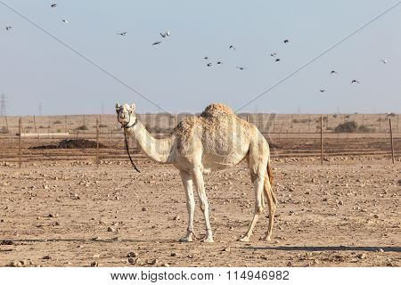 Camel In Qatar