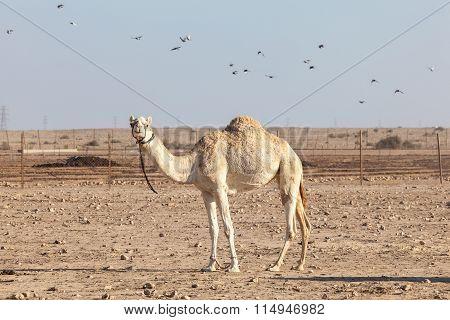 Camel In Qatar