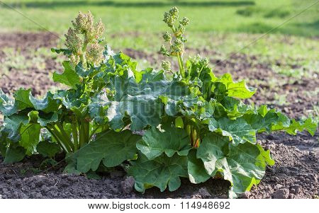 Flowering Rhubarb In Vegetable Garden