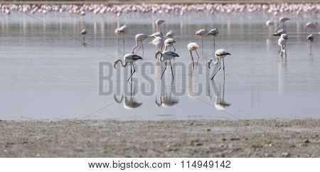 African Flamingos In The Lake Over Beautiful Sunset, Flock Of Exotic Birds At Natural Habitat, Afric