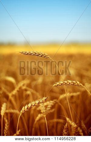 field of wheat under blue sky