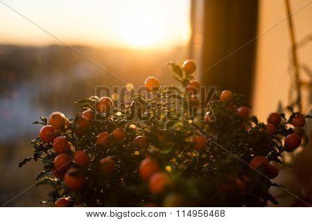 Solanum Pseudocapsicum Berries Closeup Image
