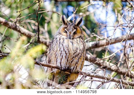 A long-eared owl perched on a tree side view.