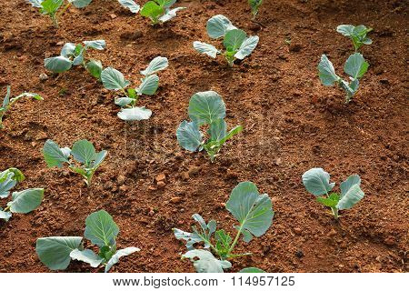 Chinese kale vegetable growing out of the earth in garden