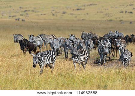 Zebra In The Masai Mara