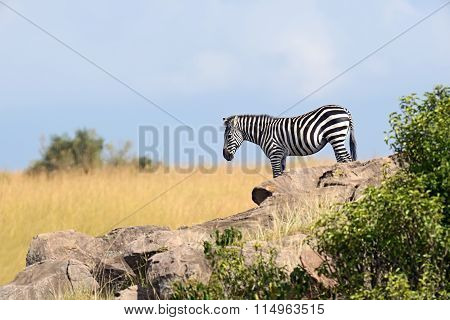 Zebra In The Masai Mara