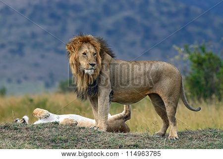 Portrait Of African Lion