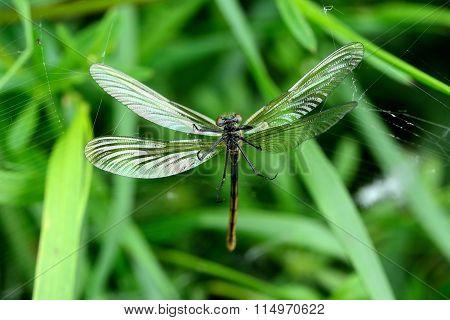 Banded demoiselle (Calopteryx splendens) female in spider's web