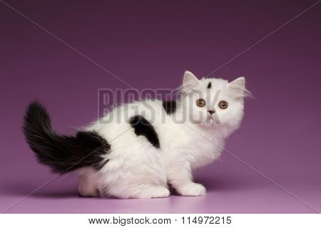 Cute White Scottish Straight Kitten Playing And Looking Back