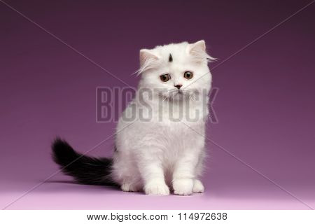 Cute White Scottish Straight Kitten Sits And Looking Down