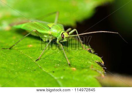 Calocoris alpestris Mirid bug