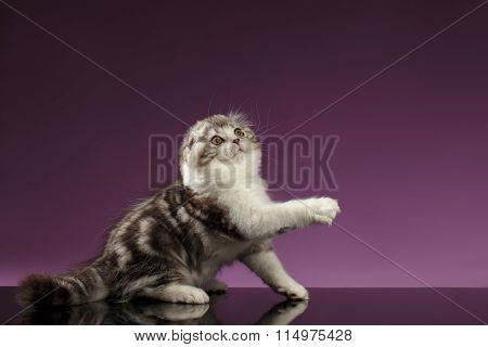 White Tabby Scottish Fold Kitten Sits And Raising Up Paw