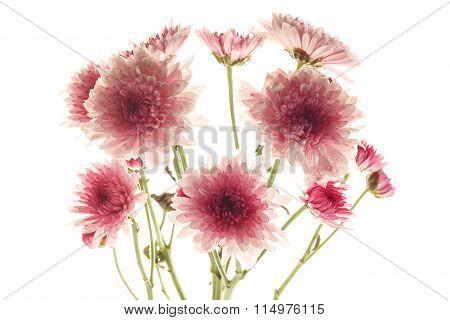 Pink Chrysanthemum Flower Beautiful Fresh