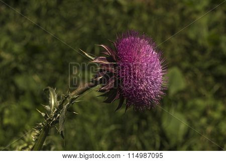 Thistle On Green