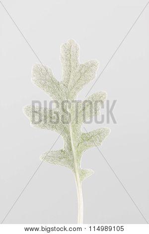 Senecio cineraria, aka dusty miller, leaf close up with white background.