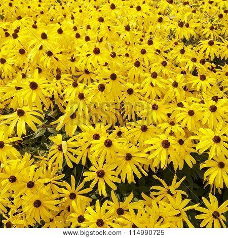 Sunny Rudbeckia Flowers