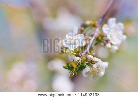 Blossoming Of Cherry Flowers In Spring Time