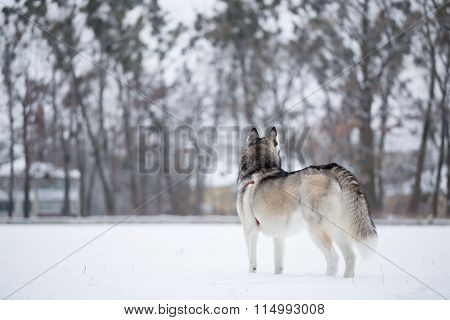 Siberian Husky Stands With His Back To Photographer.