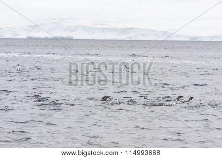 Adelie Penguins Swimming In Open Waters