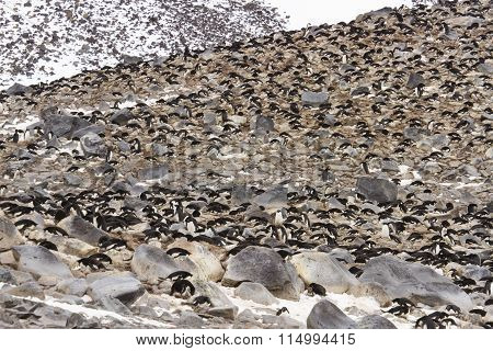 Paulet Island Rookery, Antarctica