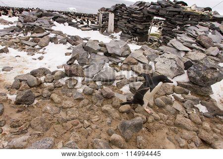 Penguin Crossing Stone Hut, Paulet Island, Antarctica