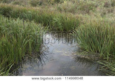 Common Bur-reed (sparganium Eurycarpum)