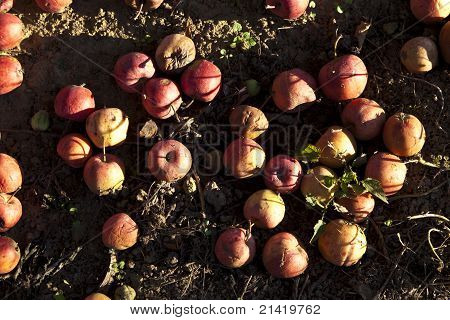 Red Windfall Apples