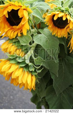 Drooping Sunflowers