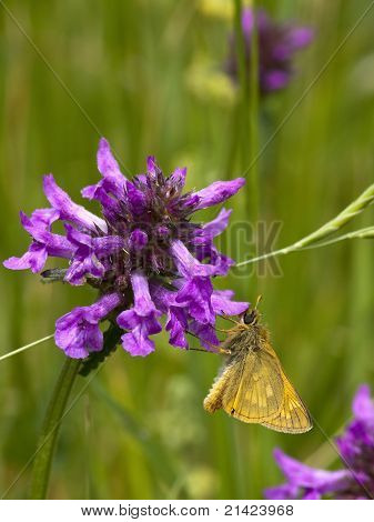 Small Skipper Butterfly 2