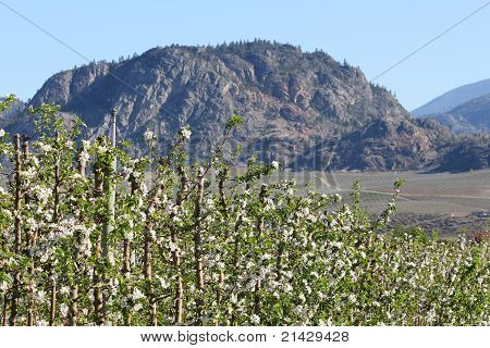 Okanagan Apple Blossoms, BC, Canada