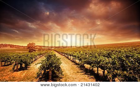 Beautiful scenic vineyard with stormy sunset sky