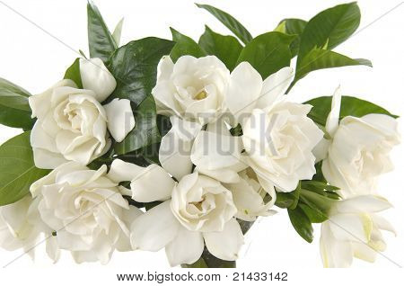 bouquet gardenia plant isolated on white;
