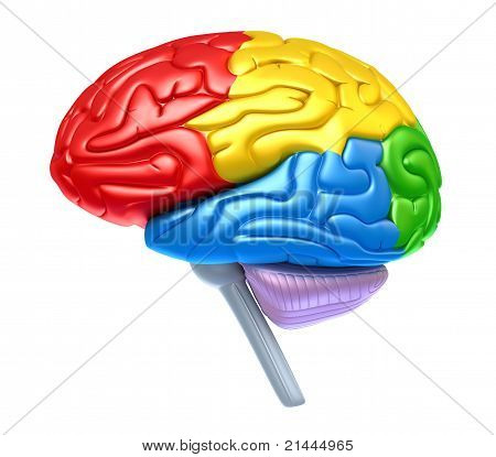 Brain lobes in different colors isolated on white