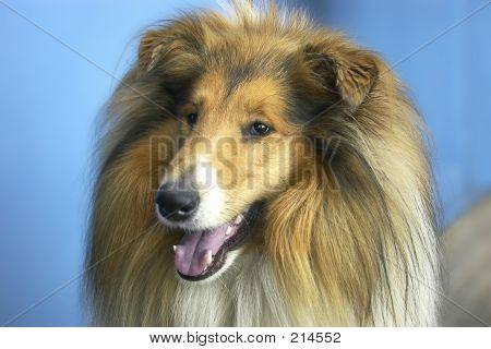Cão - Collie
