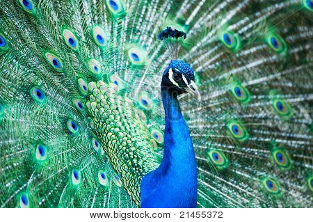 Male Indian Peacock Showing Its Feathers