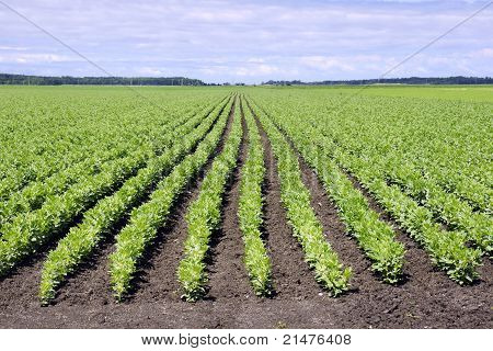 Field Of Broad Bean