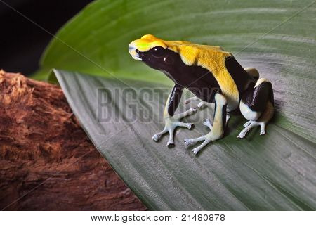 poison dart frog on leaf in south american amazon rain forest. Yellow back dendrobates tinctorius. Beautiful poisonous pet animal. Endangered amphibian of the tropical jungle.