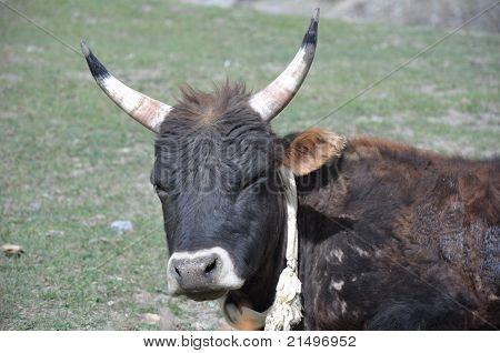 Nepalese buffalo